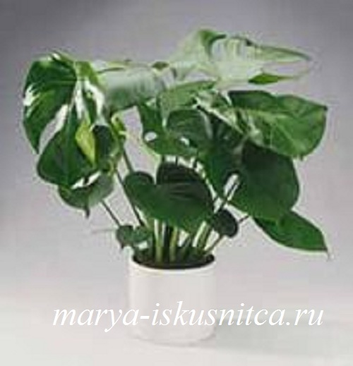 monstera_borziga
