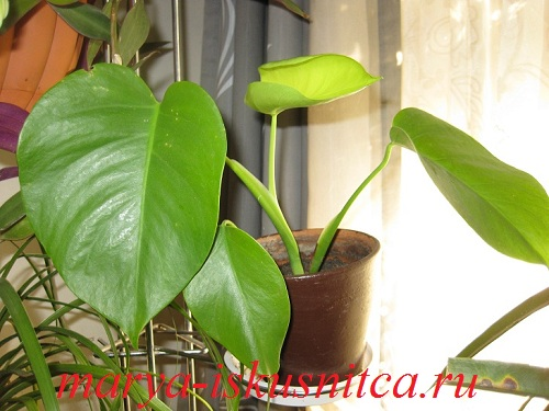 monstera_borziga1