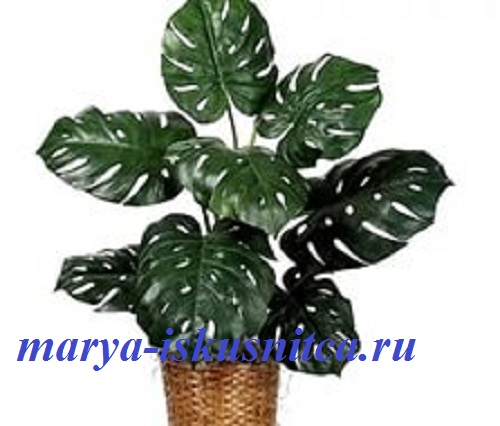 monstera_privlekatelnaya